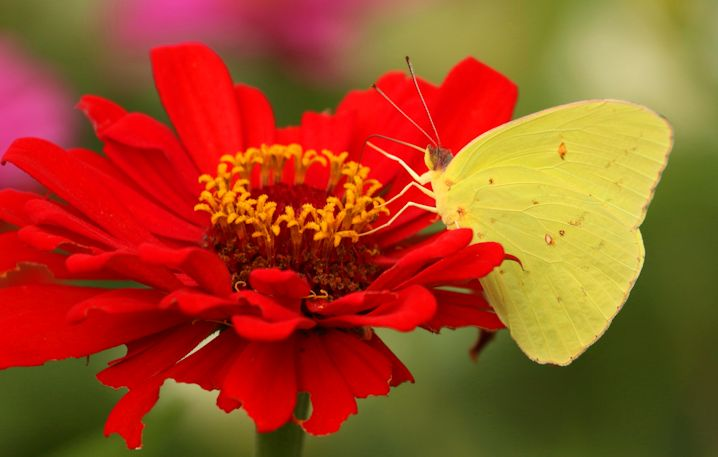 The cloudless sulphur butterfly is a sure sign along the coast that the muggy days of summer will soon be gone. Photo: Sam Bland