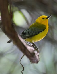 The prothonotary warbler is but one of the species that call the tract home. Photo: Wikipedia