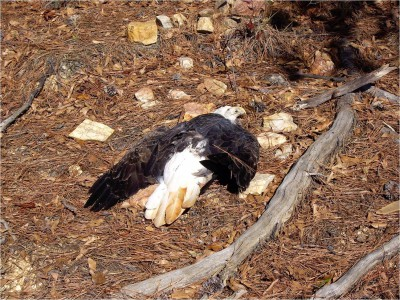 The body of a bald eagle killed by a toxin found on hydrilla is in the woods in Georgia. Photo: University of Georgia