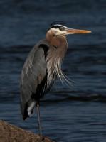 Great Blue Heron Lake Matt.