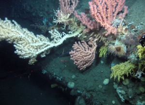 Bubblegum coral; cusk and coral. Photo: Steve Ross.
