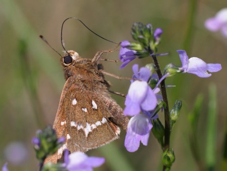 It took more than 40 years, but the crystal skipper is now considered a separate species. Photo: Sam Bland