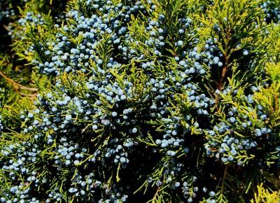 The eastern red cedar's powdery, waxy blue berries Photo: Sam Bland