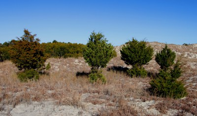 In this row of eastern red cedar, each show bare patches created by deer antler rubs . Photo: Sam Bland