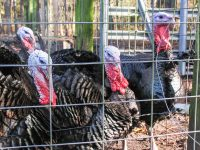 Male turkeys, or toms or gobblers, are kept separate from the females, or hens, at The Barnyard but the pens are adjacent. Photo: Mark Hibbs