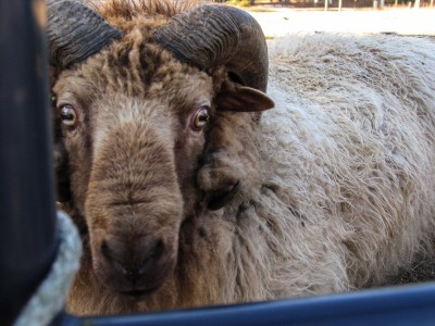 A ram keeps watch over the front gate from the sheep pen at The Barnyard. Photo: Mark Hibbs