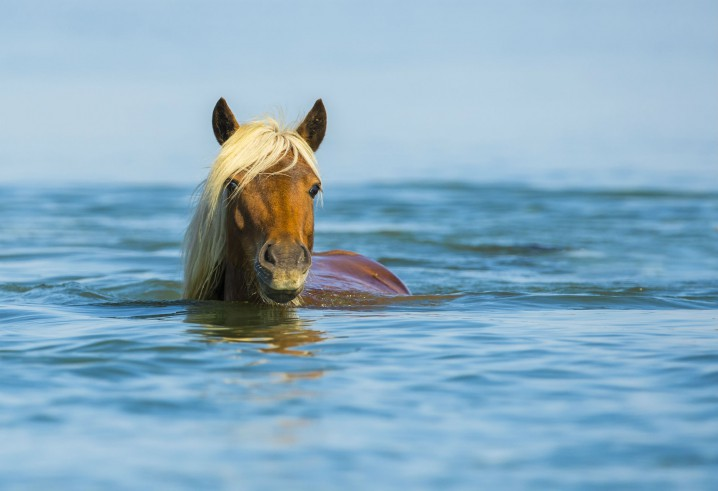 Horses have probably been on off-and-on feature of the Rachel Carson Reserve for more than 300 years. Photo: Jared Lloyd