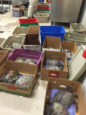 Ninety-two cold-stunned turtles await treatment Wednesday at the N.C. State Center for Marine Sciences and Technology in Morehead City. Photo: CMAST