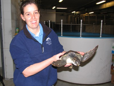 Michele Lamping, an aquarist at the N.C. Aquarium at Pine Knoll Shores, holds a green sea turtle rescued from Cape Lookout. Photo: Mark Hibbs