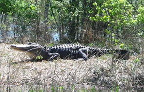 Alligators like this one in Lake Ellis Simon in Havelock tend to be smaller than those found in warmer climates farther south. Photo: John McAllister, Davidson College