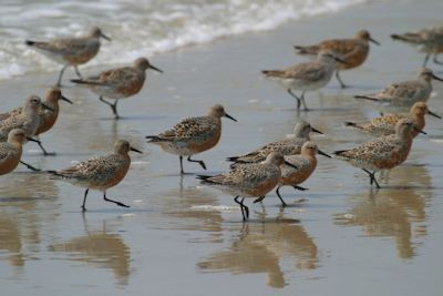 Opponents of the proposed terminal groin on Figure Eight Island fear that the structure would destroy valuable habitat for rare birds, like these red knots. Photo: Sam Bland