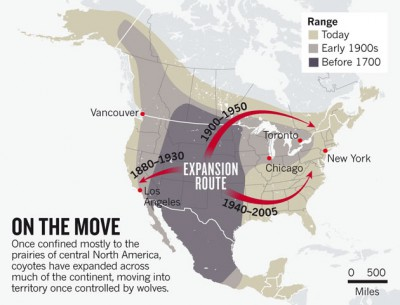 From its original habitat in the West, the coyote has spread throughout North America. Map: Cook County, Ill., Coyote Project and Ohio State University