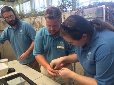 Aquarium volunteers Allen Jones, left, and Ellen Hindman flank Nate Akers as the team measures and weighs metamorphs at the aquarium. Photo: Mark Hibbs