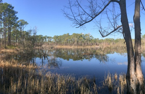 Patsy Pond in the Croatan National Forest in Carteret County is an example of gopher frog habitat. Photo: Mark Hibbs