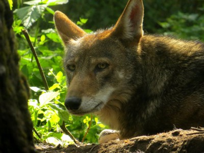 The eastern red wolf, shown here, is slightly larger than the coyote. Photo: Wolf Haven International