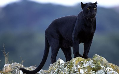 """There's no evidence that """"Black panthers"""" ever existed. Black leopards like this one are common in some parts of Malaya and on the slopes of some African mountain. The color is the result of a genetic mutation. Photo: Wikipedia"""