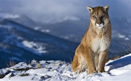 Panthers, which once roamed throughout the Americas, now lives in just 14 western states in the United States. Photo: Apple