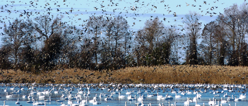 Mattamuskeet National Wildlife Refuge is a haven for migratory birds, including the tundra swan, Canada goose and other species. Photo: U.S. Fish and Wildlife Service