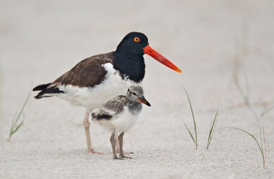 American oystercatcher with chick. Photo: USFWS