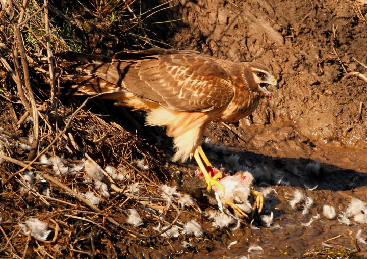 A northern harrier feasts on its prey. Photo: Sam Bland