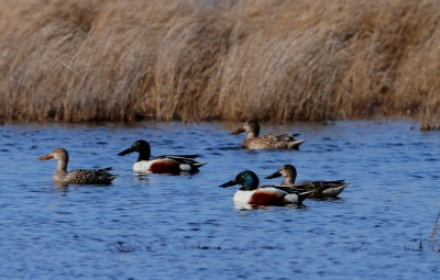 The northern shoveler is a migratory species that depends on shallow water for its habitat, such as these at Lake Mattamuskeet. Photo: Sam Bland