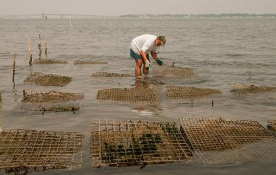 Tommy Leggett checks on his oysters in the York River. Photo: Dave Harp, Bay Journal