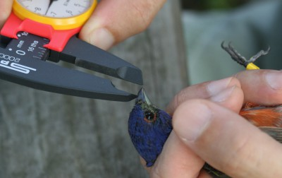 Researchers measure a painted bunting's beak. Photo: Sam Bland