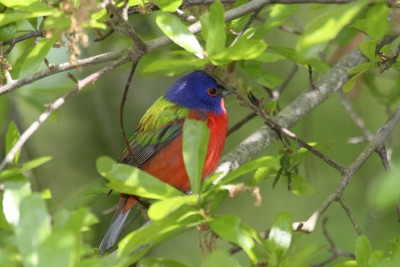 A male painted bunting takes cover in a tree. Photo: Sam Bland