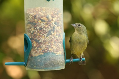 A female painted bunting perches at a feeder. Photo: Sam Bland