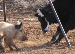 Feral swine often forage alongside livestock and eat grains, mineral blocks, and other items intended for cattle. Photo: Justin Stevenson, USDA