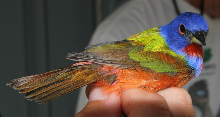 A male painted bunting tagged by researchers with the N.C. Museum of Natural Science is ready for release. Photo: Sam Bland