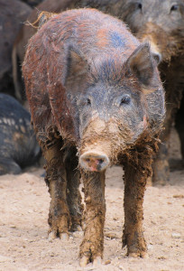 Feral Swine are not native to the U.S. They are the result of recent and historical (1500s Spanish explorers) releases of domestic swine and Eurasian boar. Photo: Laurie Paulik