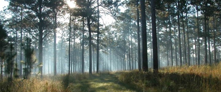 A healthy longleaf pine forest require an open canopy to allow seedling to grow. Photo: Christine Ambrose, National Fish and Wildlife Foundation