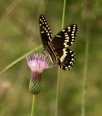 A swallowtail butterfly alights on a Le Conte thistle.