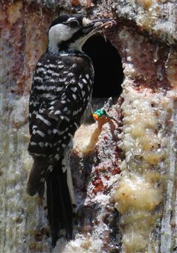 Red-cockaded woodpeckers prefer old-growth longleaf pine forests to nest. Photo: Sam Bland