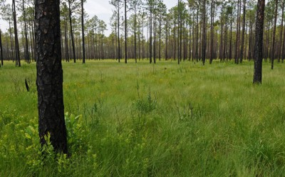 Pine savannas and embedded natural communities, such as depression wetlands, hold about 85 percent of the endemic vascular plants in the North American Coastal Plain. This site, Big Island Savanna in the Green Swamp of North Carolina, has some of the highest fine-scale plant species richness in the world – more than 50 species. Photo: Reed Noss.