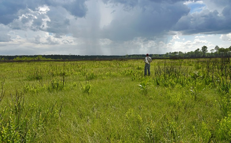 Vast grasslands devoid of trees are also characteristic of the coastal plain. Photo: Reed Noss