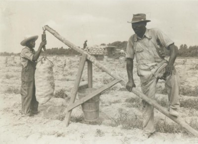 Potatoes are weigh in a field in Duplin County around 1940. Photo: N.C Department of Agriculture and Consumer Services