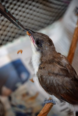 Baby birds must be fed around the clock and their staple food, live mealworms, are a pricey and perishable commodity. Photo: Mark Hibbs