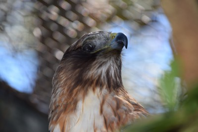 A raptor recovers in an outdoor enclosure. Photo: Mark Hibbs