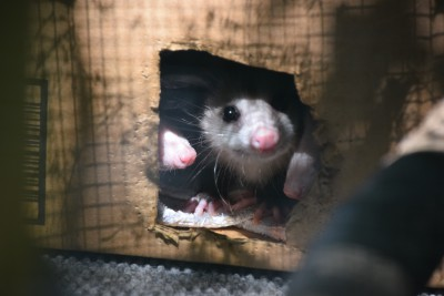 Opossums, North America's only marsupials, peer out of an enclosure. Photo: Mark Hibbs