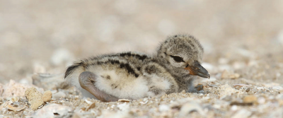 Piping plover chicks require open, sandy beaches. Photo: N.C. Audubon