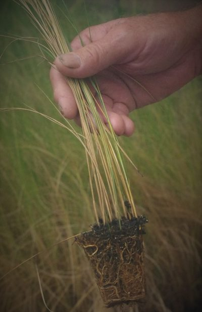 Carlton Campbell was the first to grow marsh grass seedling in large quantities in North Carolina. Photo: Danielle Herman