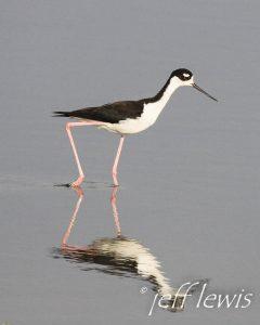 Black-necked stilt. Photo: Jeff Lewis
