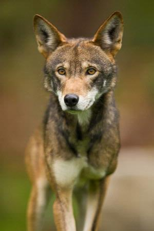 A red wolf in captivity. Photo: John Froschauer/Point Defiance Zoo and Aquarium