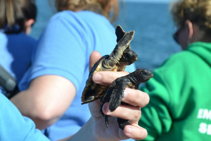 An aquarium staff member holds two baby sea turtles in preparation for their release into the ocean Wednesday. Photo: Brian Postelle, North Carolina Aquariums