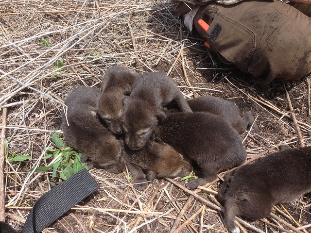 A litter of red wolf pups are born in captivity. Photo: USFWS/A. Beyer