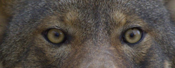 The red wolf is one of the world's most endangered wild canids. Photo: U.S. Fish and Wildlife Service/B. Bartel