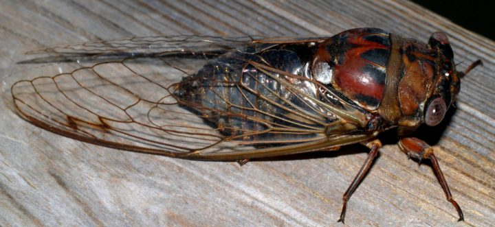 The dog-day cicada is a type of annual cicada that emerges from underground every year. Photo: Sam Bland