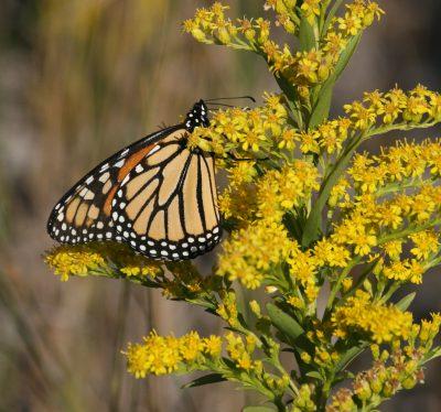 A monarch feeds on goldenrod nextar. Photo: Sam Bland